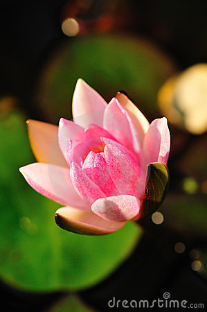 Water Pink Lily