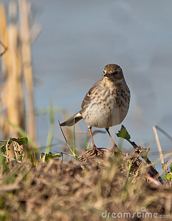 The Water Pipit