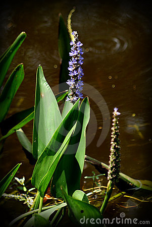 Water plant and flower
