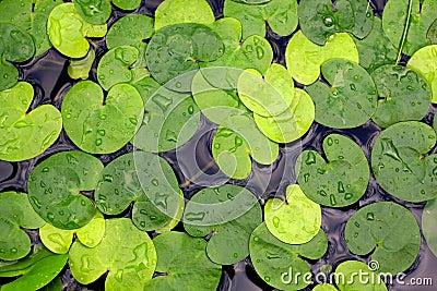 Water-plant foliage