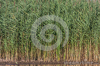 Water and reeds Stock Photo