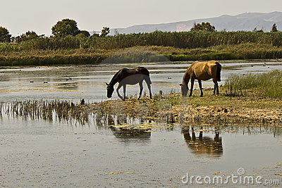 Water reflection in a horse grazing