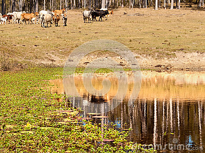 Water Reflections on dam in cattle country