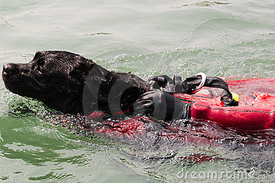 Water rescue dog