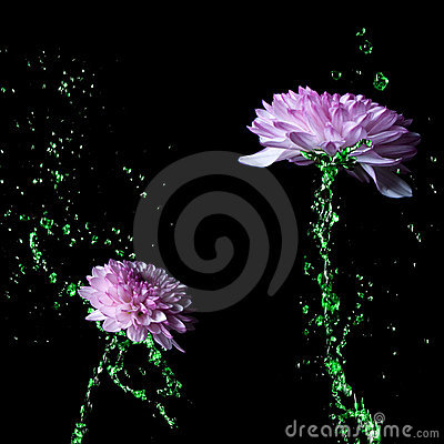 Water-stem Chrysanthemum purple flower