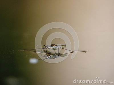 Water striders on water. Reflections in a pond.
