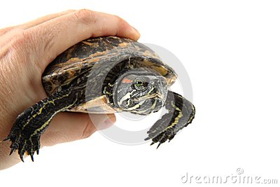Water turtle in human hand