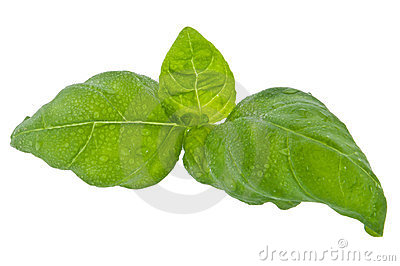 Water wetted basil leaves (with clipping path)