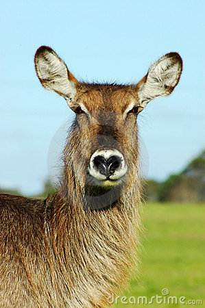 Free Waterbuck Stock Photography - 1600992