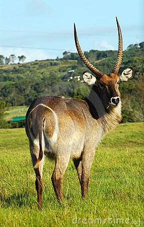 Free Waterbuck Royalty Free Stock Photography - 1649247