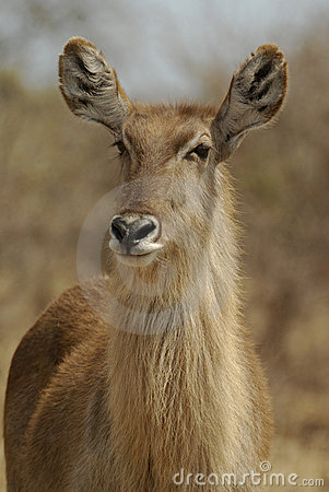 Free Waterbuck Royalty Free Stock Image - 16511256