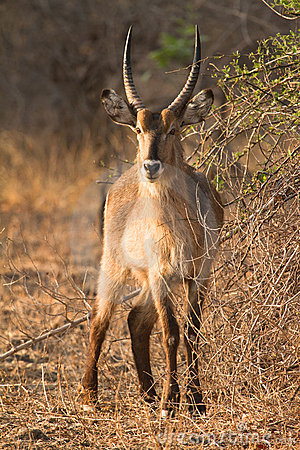Free Waterbuck Stock Photography - 17928292