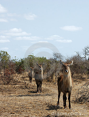 Free Waterbuck Stock Photo - 19400090