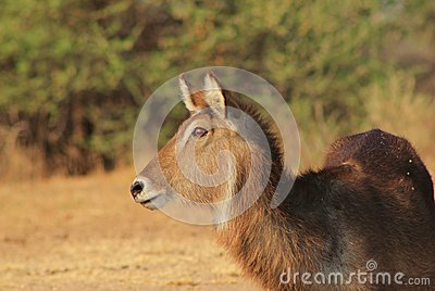 Waterbuck - African Antelope, Alert