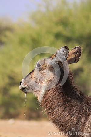 Waterbuck cow with droplets from mouth - Africa