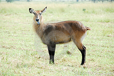 Waterbuck (Female), Kidepo Valley National Park