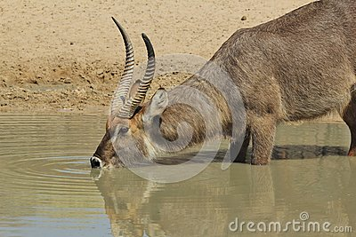 Waterbuck - Wildlife background from Africa - Quenching thirst