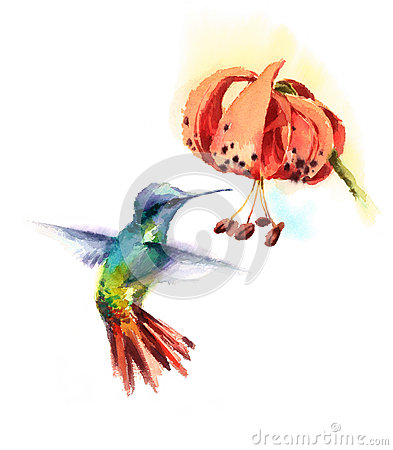 Free Watercolor Bird Hummingbird Drinking Nectar Out Of Tiger Lily Flower Hand Drawn Summer Garden Illustration Isolated On White Backg Royalty Free Stock Photos - 92195948