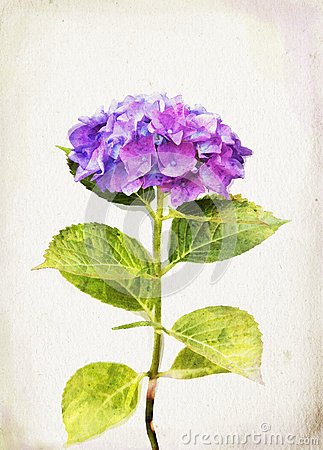Watercolor blue hydrangea