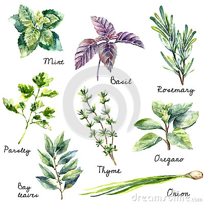 Free Watercolor Collection Of Fresh Herbs Isolated. Royalty Free Stock Image - 60415396