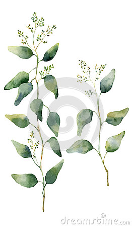 Free Watercolor Eucalyptus Leaves And Branches With Flowers. Hand Painted Flowering Eucalyptus. Floral Illustration Isolated On White Stock Photography - 75312702