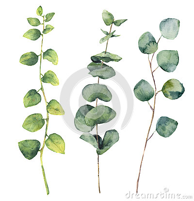 Watercolor eucalyptus round leaves and twig branches. Cartoon Illustration