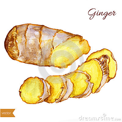 Watercolor ginger root. Hand draw ginger illustration. Spices vector object isolated on white background. Kitchen herbs Vector Illustration
