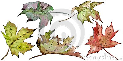 Watercolor green and red maple leaves. Leaf plant botanical garden floral foliage. Isolated illustration element. Cartoon Illustration