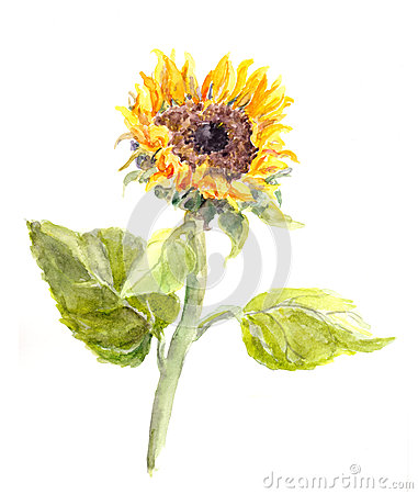 Free Watercolor Hand Painted Sunflower Flower Royalty Free Stock Image - 74229396