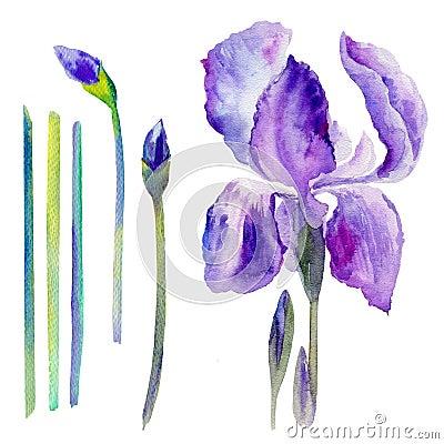 Watercolor iris flower, bud hand drawn botanical illustration Cartoon Illustration