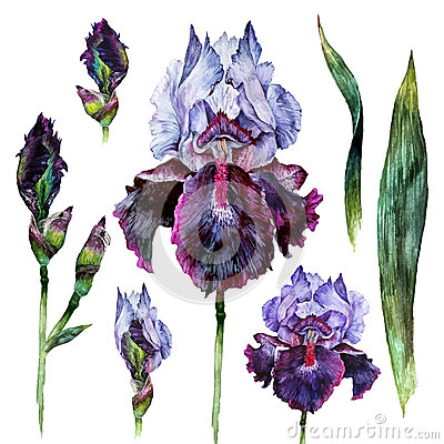 Watercolor Iris isolated Vector Illustration