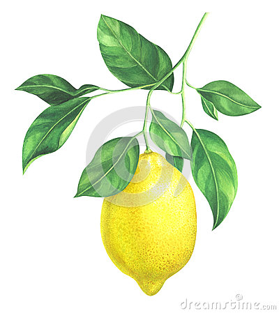 Watercolor lemon branch on white background Cartoon Illustration