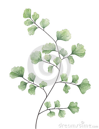 Watercolor maidenhair fern isolated on white background. Cartoon Illustration