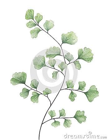 Watercolor maidenhair fern isolated on white background. Cartoon Illustration