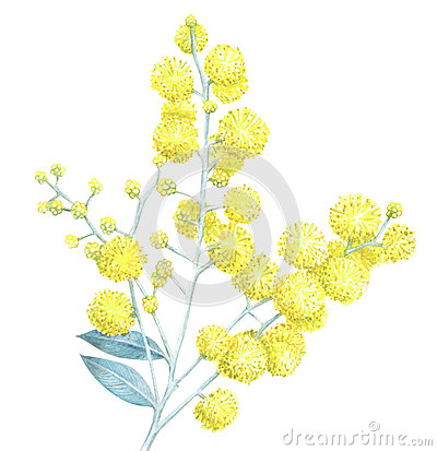 Watercolor mimosa on white background Cartoon Illustration