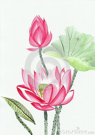Free Watercolor Painting Of Pink Lotus Flower Royalty Free Stock Images - 33217109