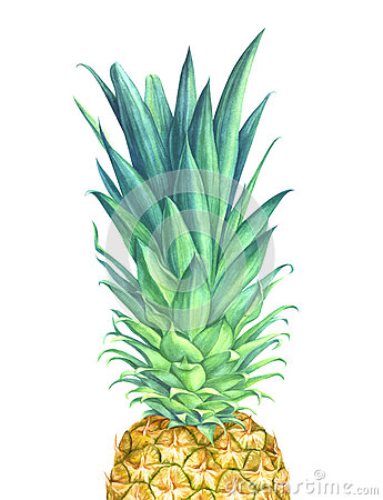 Watercolor pineapple on white background Cartoon Illustration