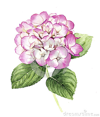 Free Watercolor Pink Hydrangea Flower Stock Images - 58051784