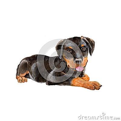 Free Watercolor Portrait Of Black German Rottweiler Metzgerhund, Rott, Rottie Breed Dog  On White Background Royalty Free Stock Photo - 68350815