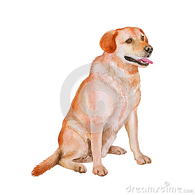 Free Watercolor Portrait Of Red, White Labrador Retriever Breed Gun Dog, Lab  On White Background. Hand Drawn Pet Royalty Free Stock Photography - 68348277