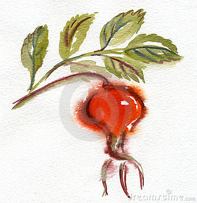 Watercolor rose hip1 .