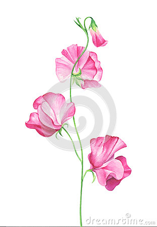 Watercolor sweet pea flowers on white background Cartoon Illustration
