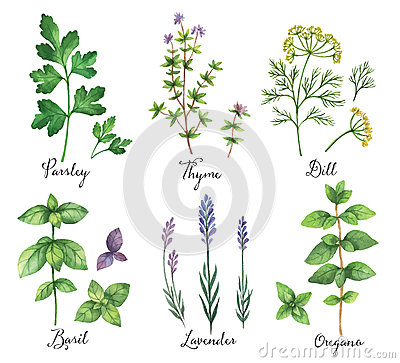 Free Watercolor Vector Hand Painted Set With Wild Herbs And Spices. Royalty Free Stock Image - 71452316