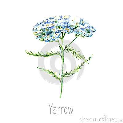 Free Watercolor Yarrow Herb. Royalty Free Stock Images - 73051739