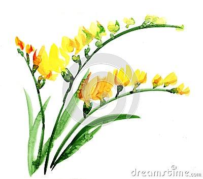 Watercolour da flor de Fresia