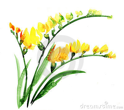 Watercolour del fiore di Fresia
