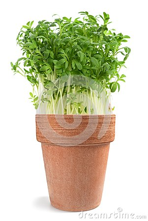 Free Watercress Lepidium Sativum Stock Image - 103799061