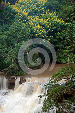 Waterfall with yellow blossoms tree