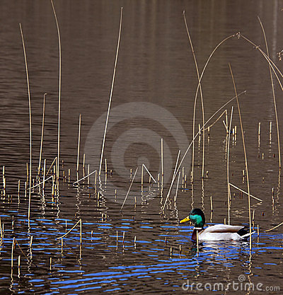 Waterfowl - Mallard Duck - Anas platyrhynchos