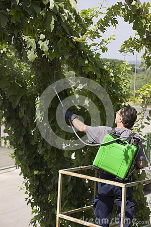 Watering grapes